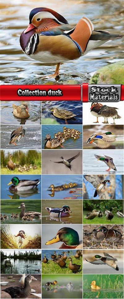 Collection duck flight flying bird 25 HQ Jpeg